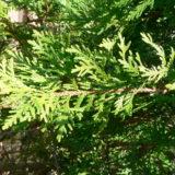 Levensboom Thuja occidentalis Smaragd