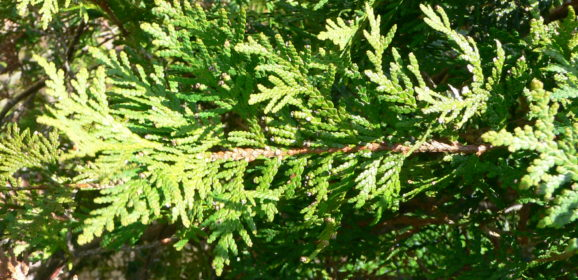 Levensboom Thuja occidentalis Smaragd